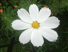 Daisy The Flower - daboecia cantabrica irish heath an interesting evergreen