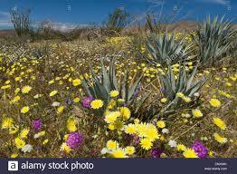 blooming desert a colourful carpet of blooming desert flowers
