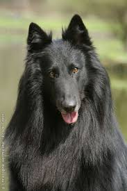belgian sheepdog tattoo 1186 best doguii images on pinterest animals puppies and dogs