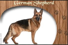characteristics of a australian shepherd personality traits of border collie and german shepherd mix breed