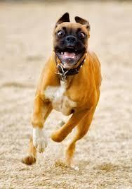 rescue a boxer dog is a boxer dog right for you pethealthcare co zais a boxer dog