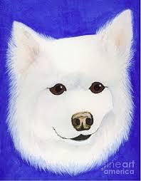 american eskimo dog forum american eskimo dog paintings fine art america