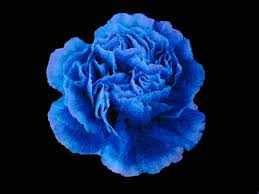 blue carnations 51313 harbor blue carnation