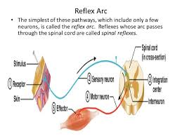 Motor Reflex Arc Reflex Physiology Lab 7 Dr Twana A Mustafa Ppt Video Online