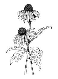 Flower Drawings Black And White - art beautiful black and white daisy drawing flower pen real