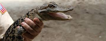 fan boat tours miami florida airboat rides at gator park everglades airboat tours