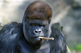 Funny Gorilla Meme - create meme gorilla gorilla gorilla animals funny
