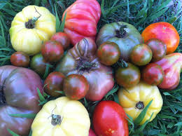 five tomato growing tricks you need to start using u2013 growjourney