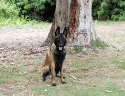 belgian sheepdog pros and cons best dog trainer los angeles orange county world of dog training