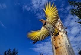 why yellow birds mysteriously turn red