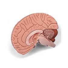 The Anatomy Of The Human Brain Anatomical Teaching Models Plastic Human Brain Models 2 Part