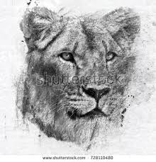 african lioness drawing pencil stock illustration 157998206