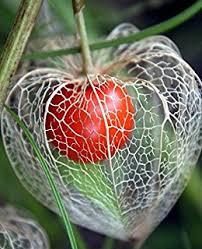 japanese lantern plant package of 200 seeds lantern physalis