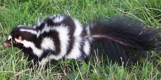 eastern spotted skunk outdoor alabama