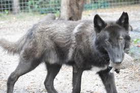 belgian sheepdog rescue florida view ad gerberian shepsky mix dog for adoption florida orlando usa