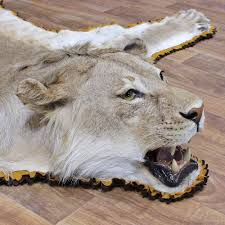 Animal Skin Rugs For Sale African Lion Rug Mount 12331 The Taxidermy Store