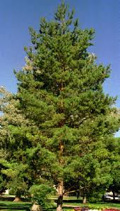 scots pine pinus sylvestris at sherwood s forests