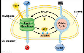 The Light Reactions Of Photosynthesis Use And Produce What Function Does Nadph Serve In Photosynthesis Biology