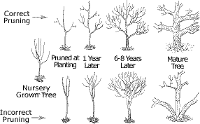pruning care for ornamental shade trees