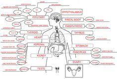 endocrine system concept map endocrine system concept map bazinga endocrine