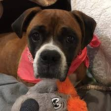 boxer dog noises atlanta boxer rescue available boxers