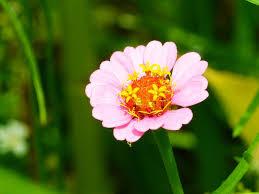 Zinnia Flower Free Photo Zinnia Flower Meadow Bright Free Image On Pixabay