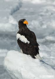 stellers sea eagle wallpapers 27 best m m as in mink images on pinterest animal kingdom wild