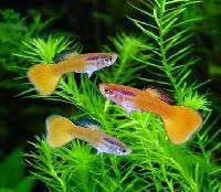 ornamental fish in kerala manufacturers and suppliers india