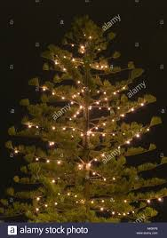 norfolk island pine tree conifer lit up with tree lights at