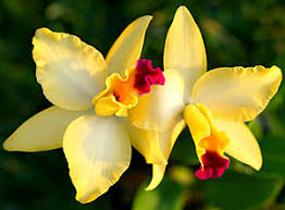yellow orchids in india flowering and ornamental trees in india