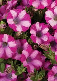 sakata ornamentals gardening petunias flowering