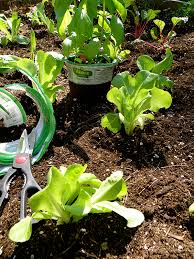 Growing Basil Bonnie Plants by 5 Reasons To Plant Seedlings Instead Of Seeds Bonnie Plants