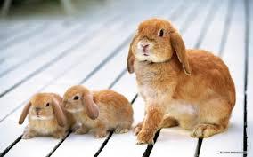 rabbit bunny bunnys bunnies bunny rabbits wallpaper 16438014 fanpop