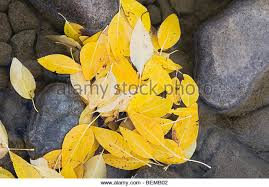 Cottonwood Tree Flowers - cottonwood tree leaf stock photos u0026 cottonwood tree leaf stock