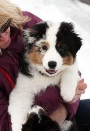 australian shepherd p australian shepherd puppy photo from ninebark aussies website