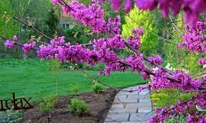 oklahoma native plants my weeds are very sorry oklahoma redbud