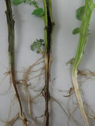 Bacterial Diseases Of Plants - soft rot diseases of potatoes agriculture and food