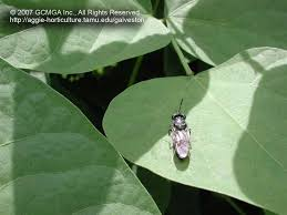 Tiny Black Flies In The House by Beneficial Insects In The Landscape 51 Black Soldier Fly