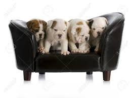 canapé en anglais portée de chiots bulldog anglais assis sur un canapé chien avec la
