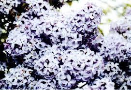 blog u2013 lilac bush