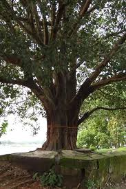 what is the significance of the peepal tree in indian culture quora