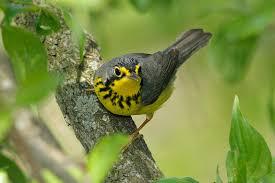 Ontario Backyard Birds What Should Canada U0027s National Bird Be Boreal Songbird Initiative