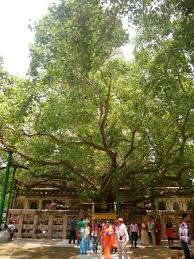 the bodhi tree where buddha become enlightened in bodhgaya