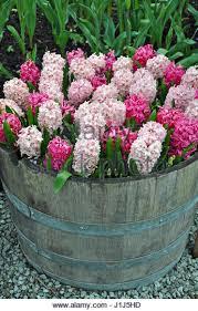 barrel planter stock photos u0026 barrel planter stock images alamy