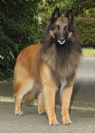 belgian shepherd breeds 424 best belgian shepherd tervueren images on pinterest belgian