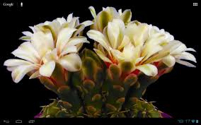 google images flower blooming flower cactus buds android apps on google play