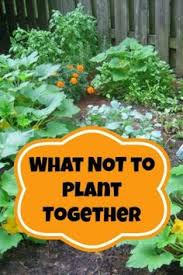 what not to plant together outdoor veggie garden pinterest