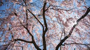 best places to see cherry blossoms in nyc this spring