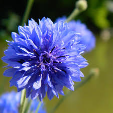 corn flower blue cornflower blue photograph by clarke