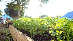 coriander growth in a vegetable garden morning stock footage video